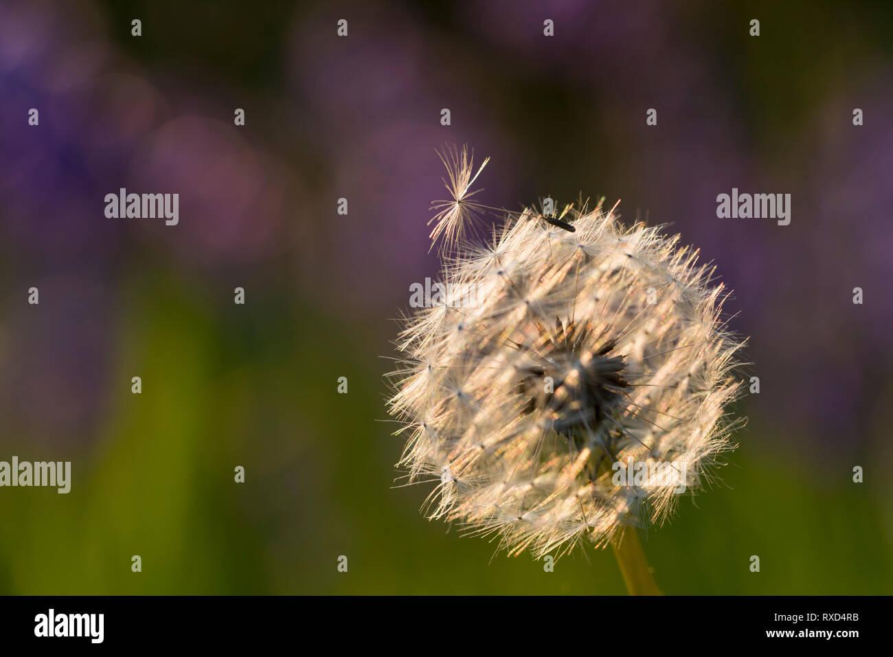 Dandelion Seedhead; Taraxacum officinale; Cornwall; UK - Stock Image
