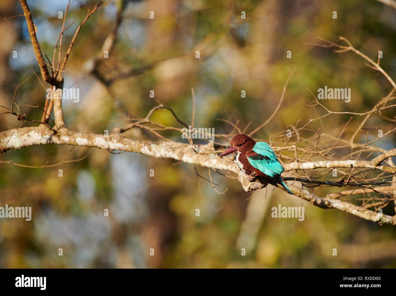 White-throated Kingfisher, Halcyon smyrnensis, Kabini, Nagarhole Tiger Reserve, Karnataka, India - Stock Image
