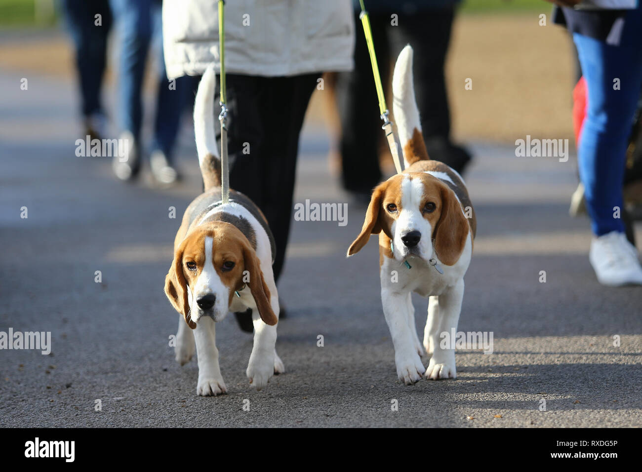 Birmingham, UK. 9th March, 2019. Dogs arrive with their owners on day three of Crufts, the world's largest dog show, at the NEC Birmingham. Peter Lopeman/Alamy Live News - Stock Image