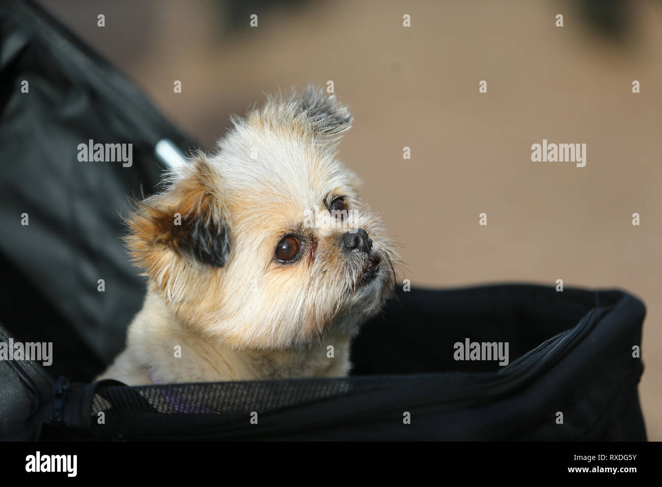 Birmingham, UK. 9th March, 2019. Dogs arrive with their owners on day three of Crufts, the world's largest dog show, at the NEC Birmingham. Minnie the Shipom arrives in her own pram. Peter Lopeman/Alamy Live News - Stock Image