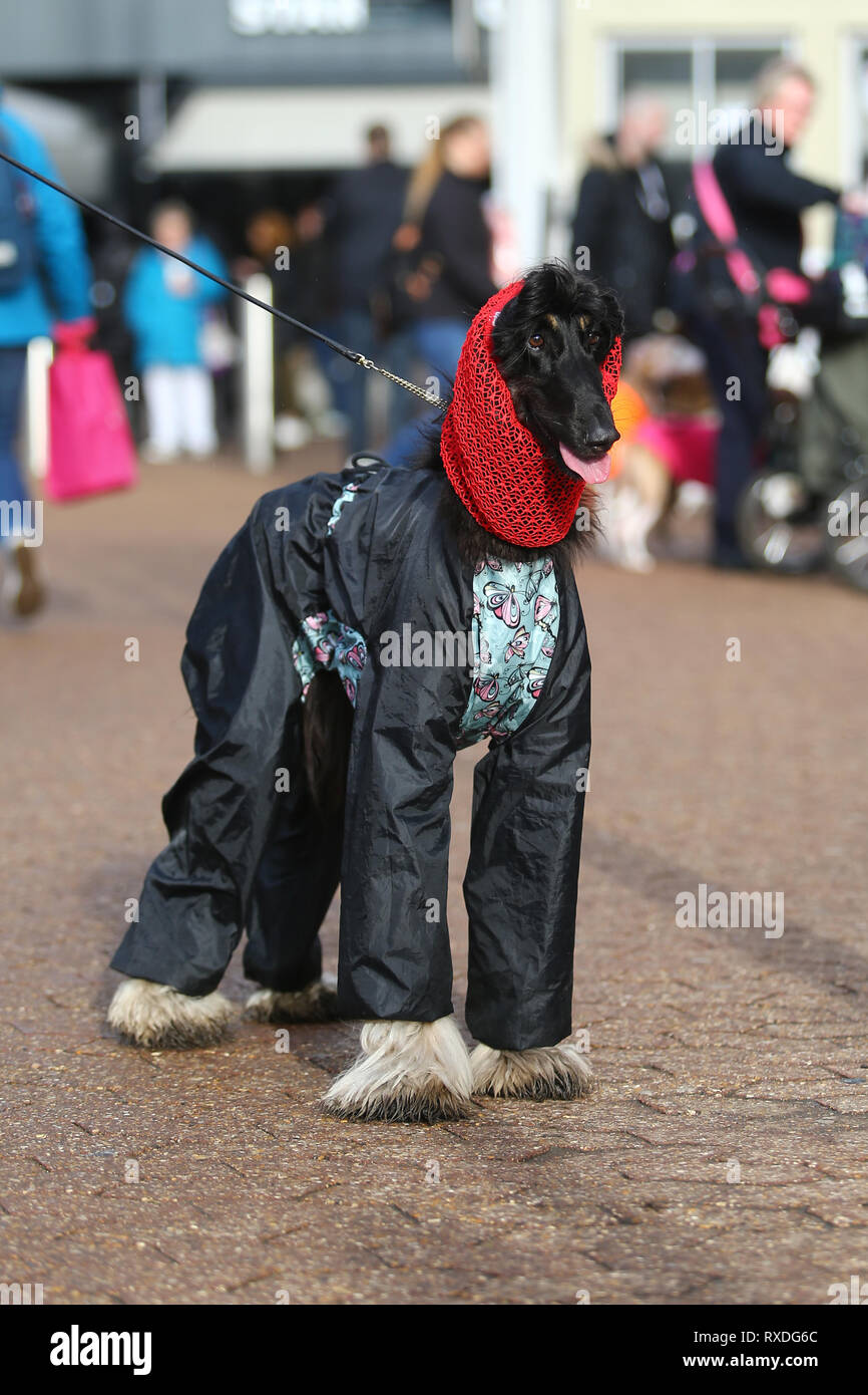 Birmingham, UK. 9th March, 2019. Dogs arrive with their owners on day three of Crufts, the world's largest dog show, at the NEC Birmingham. Zante the Afghan Hound looks dressed for the showers that are forecast. Peter Lopeman/Alamy Live News - Stock Image