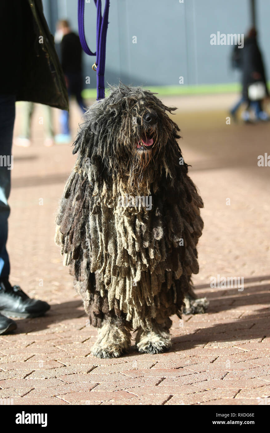 Birmingham, UK. 9th March, 2019. Dogs arrive with their owners on day three of Crufts, the world's largest dog show, at the NEC Birmingham. Lizzie the Bergamasco poses for the camera. Peter Lopeman/Alamy Live News - Stock Image