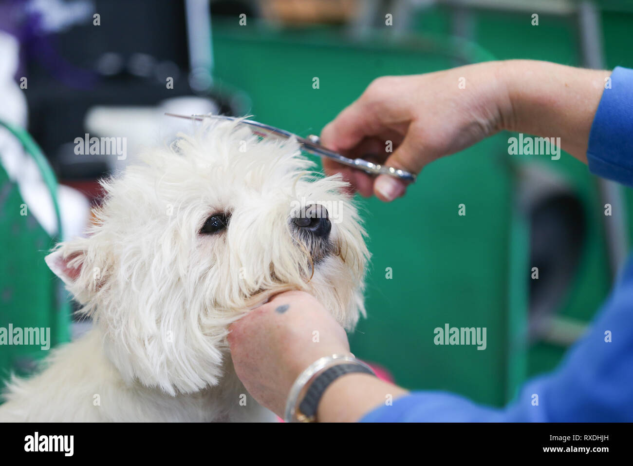Birmingham, UK. 9th March, 2019. A terrier receives a last minute trim before the show. Credit: Peter Lopeman/Alamy Live News - Stock Image