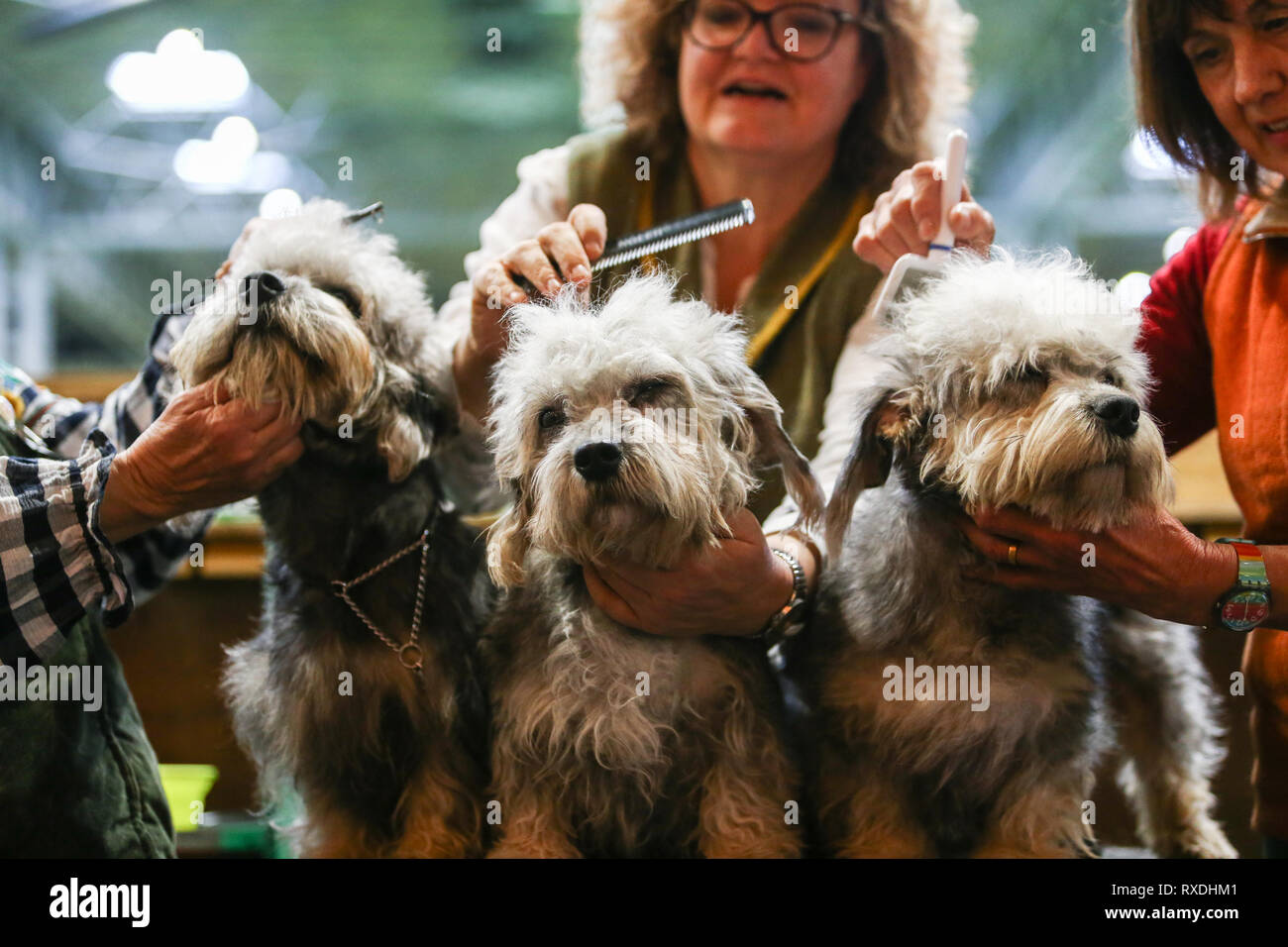 Birmingham, UK. 9th March, 2019. Three terriers receives a last minute spruce before the show. Credit: Peter Lopeman/Alamy Live News - Stock Image