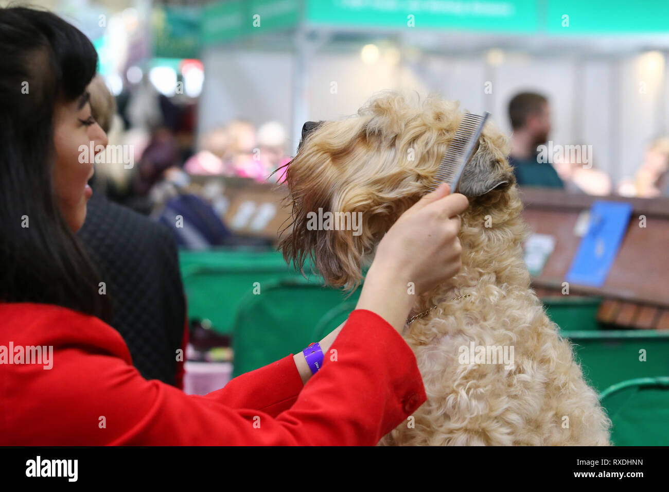 Birmingham, UK. 9th March, 2019. A terrier receives a last minute comb before the show. Credit: Peter Lopeman/Alamy Live News - Stock Image