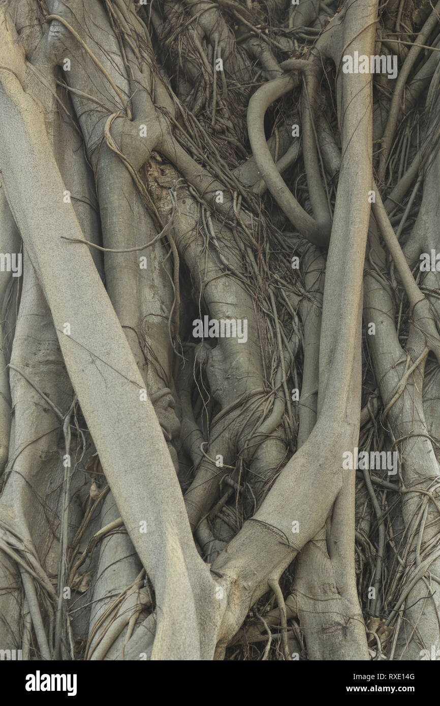 Roots of tropical tree - Stock Image