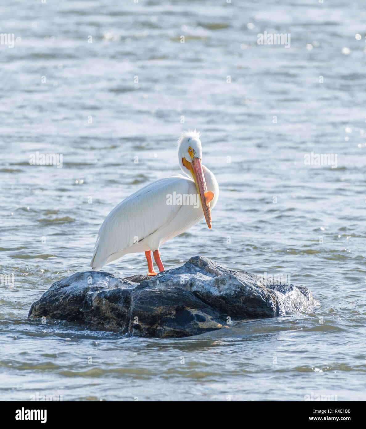 The American white pelican (Pelecanus erythrorhynchos) is a large aquatic soaring bird from the order Pelecaniformes Stock Photo
