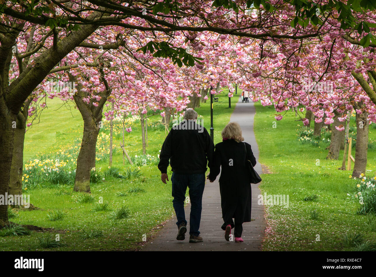 A couple walking down a path lined with Pink Cherry Blossom Trees,Stray Rein,Harrogate,North Yorkshire,England,UK. - Stock Image