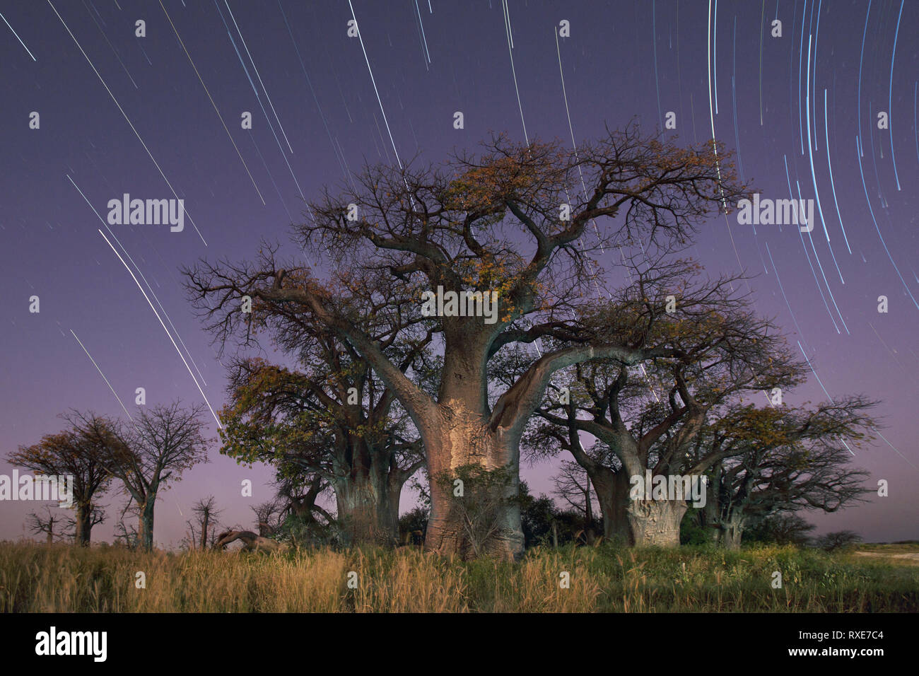 Baines Baobabs located in the Nxai Pans, Botswana. - Stock Image