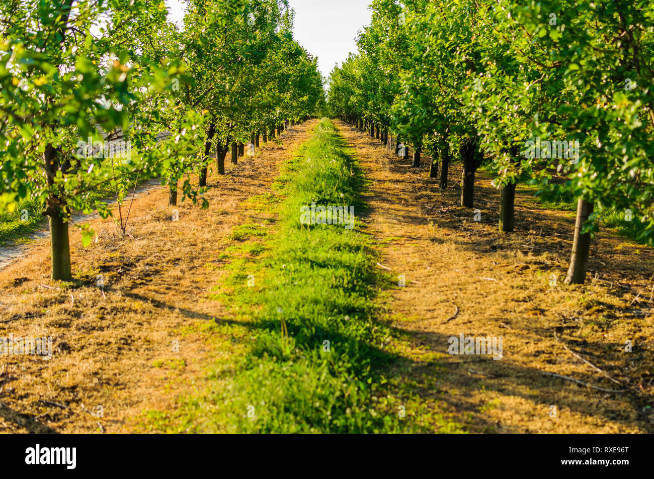 Symmetric view on endless country road between fruit trees lines in beautiful orchard.	 - Stock Image