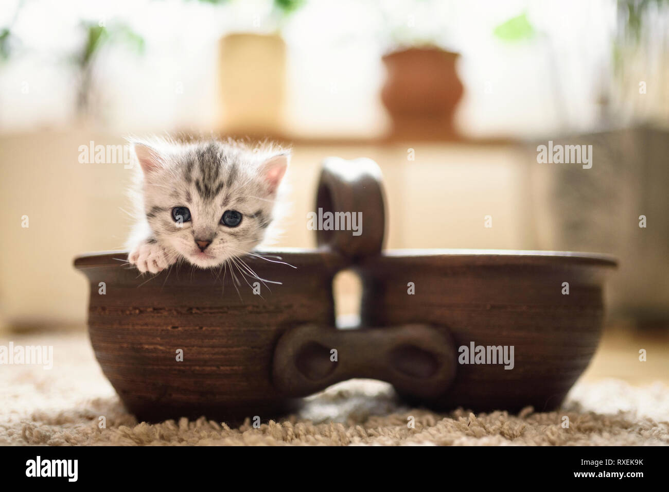 Funny small grey kitten put out his cute head and paw from the pot and looks with his lovely eyes in camera.	 - Stock Image