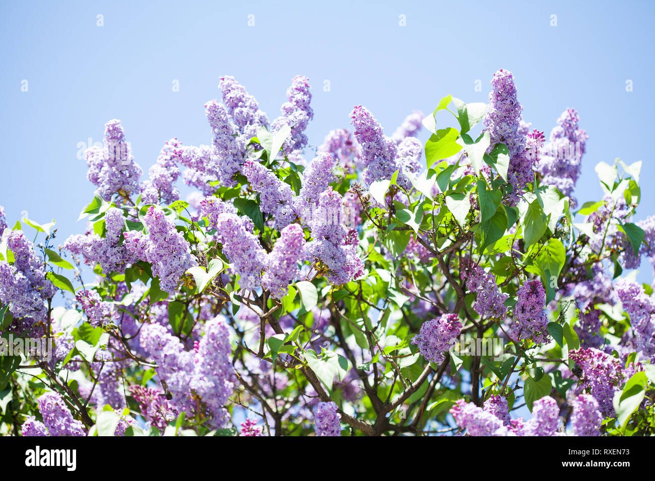 Pianta Fiori Viola A Grappolo.Blossoming Syringa Vulgaris Lilacs Bush Beautiful Springtime