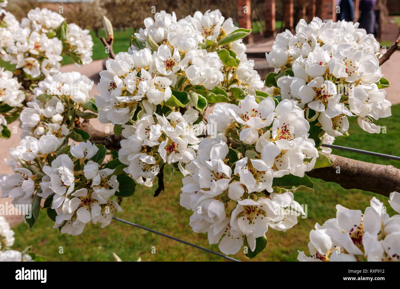 Espaliered blossoming branches of fruit trees in a garden in the springtime. - Stock Image