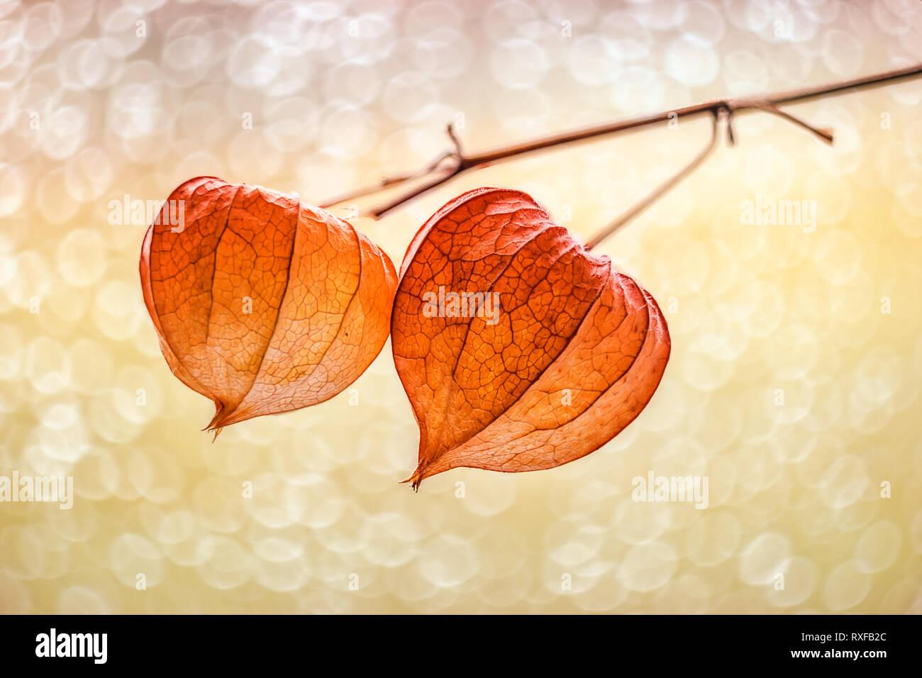 Lampionblume mit strukturiertem Bokeh - Stock Image