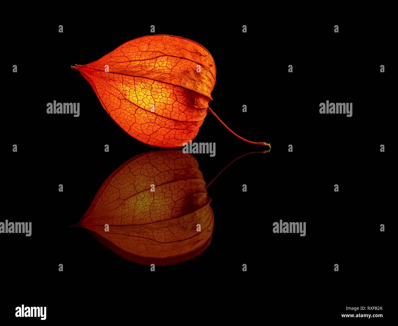 Lampionblume mit Spiegelung - Stock Image