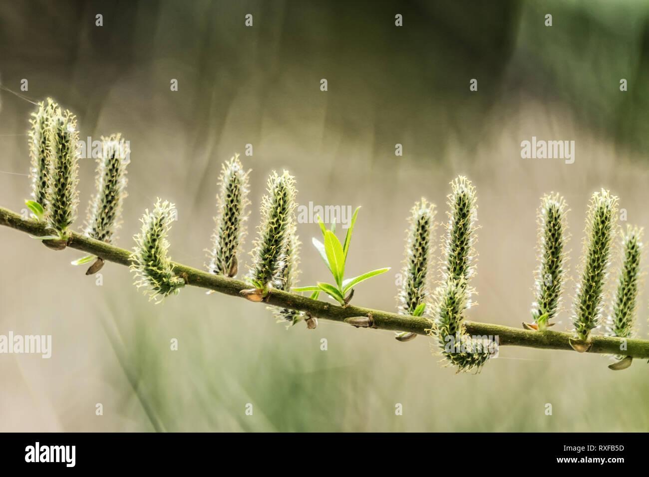 Palmkätzchen im Frühling - Stock Image