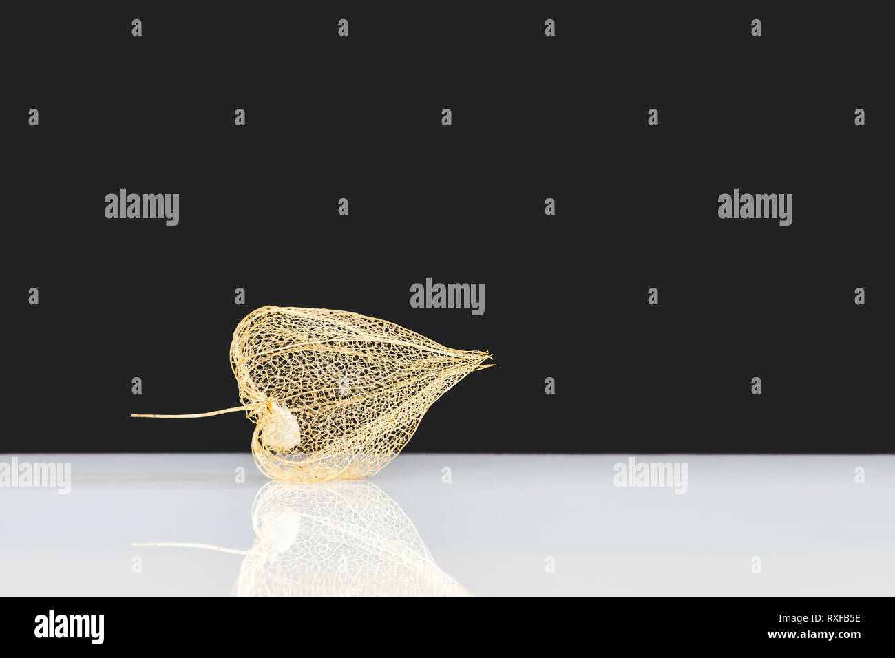 Lampionblume mit Spiegelung, Studioaufnahme - Stock Image