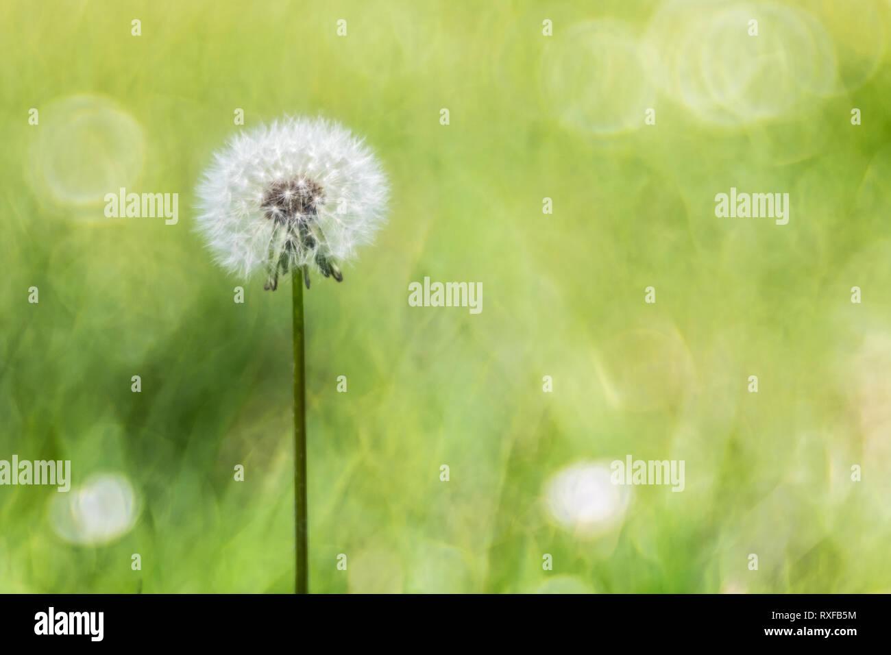 Pusteblume, verblühter Löwenzahn - Stock Image