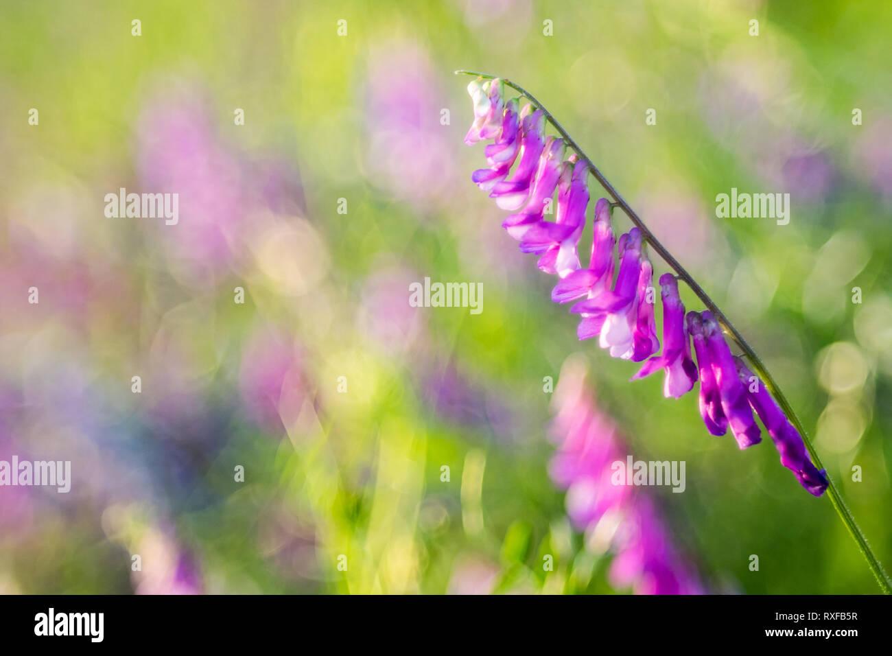 Vogelwicke (Vicia cracca). Violett blühende Wiesenblume auf strukturiertem Unschärfehintergrund - Stock Image