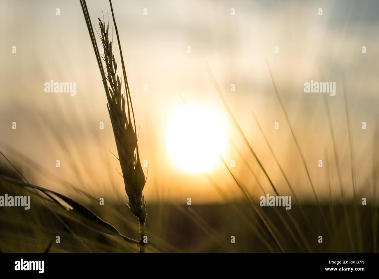 Korn in abendlicher Sonne bei Sonnenuntergang - Stock Image