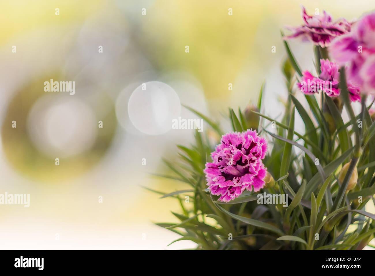 Garten Nelke - Stock Image