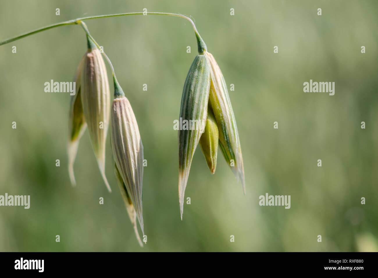 Hafer Getreide - 2 Haferblüten im Vordergrund mit unscharfem Hintergrund - Stock Image