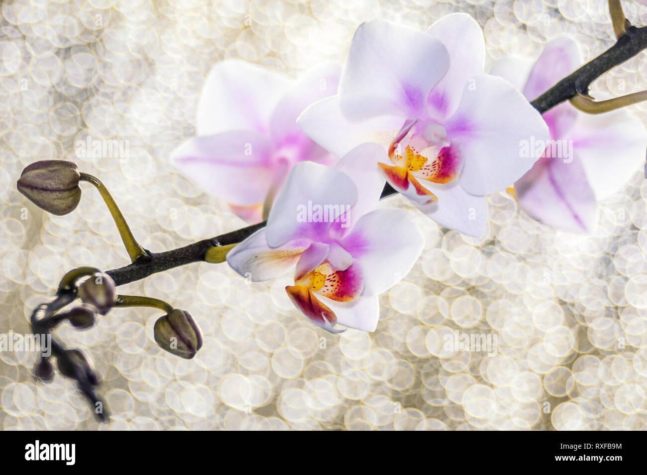 Orchidee und Zweig mit Bubble Hintergrund - Stock Image