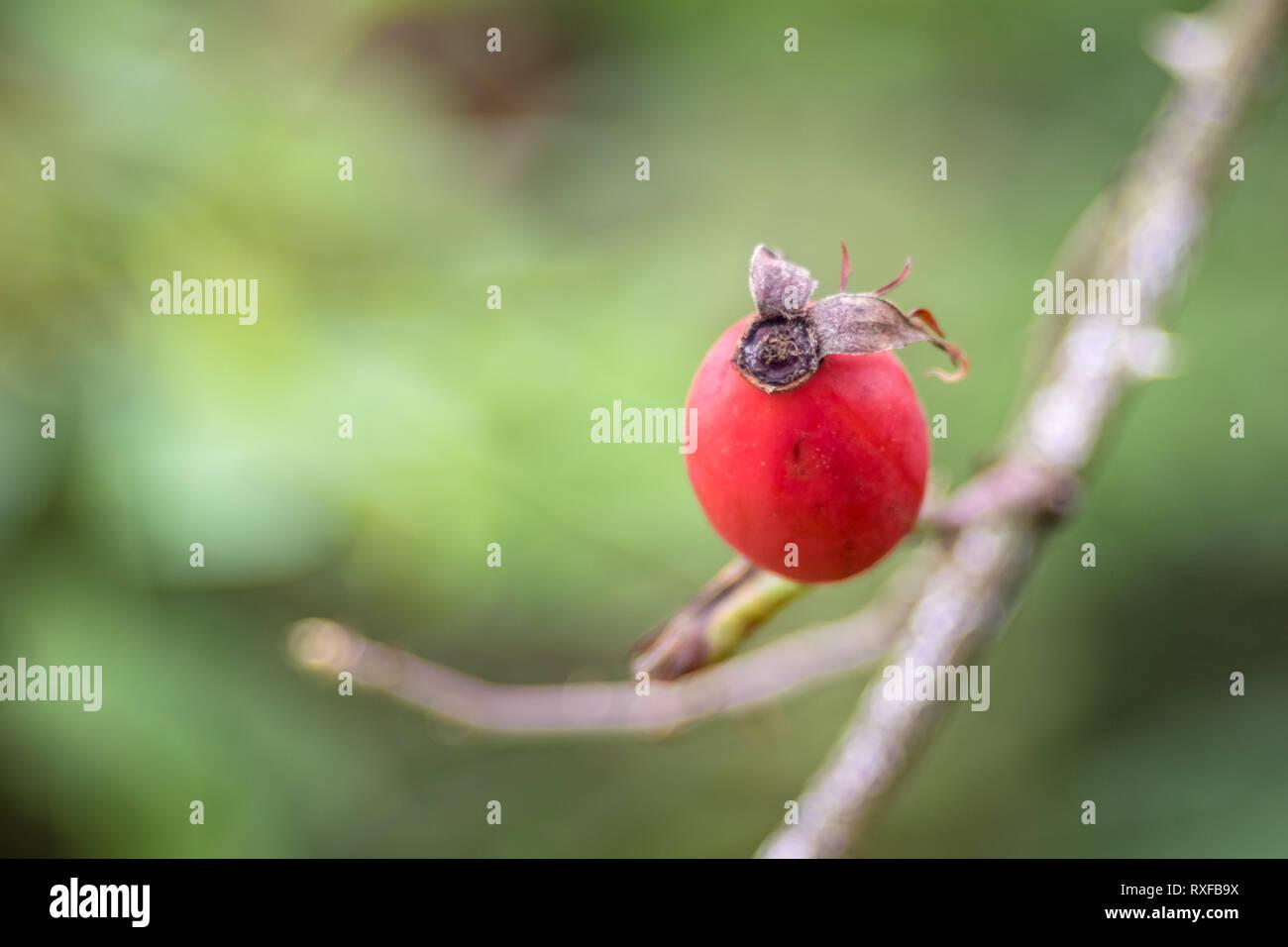 Hagebutte am Zweig mit weichem Hintergrund - Stock Image