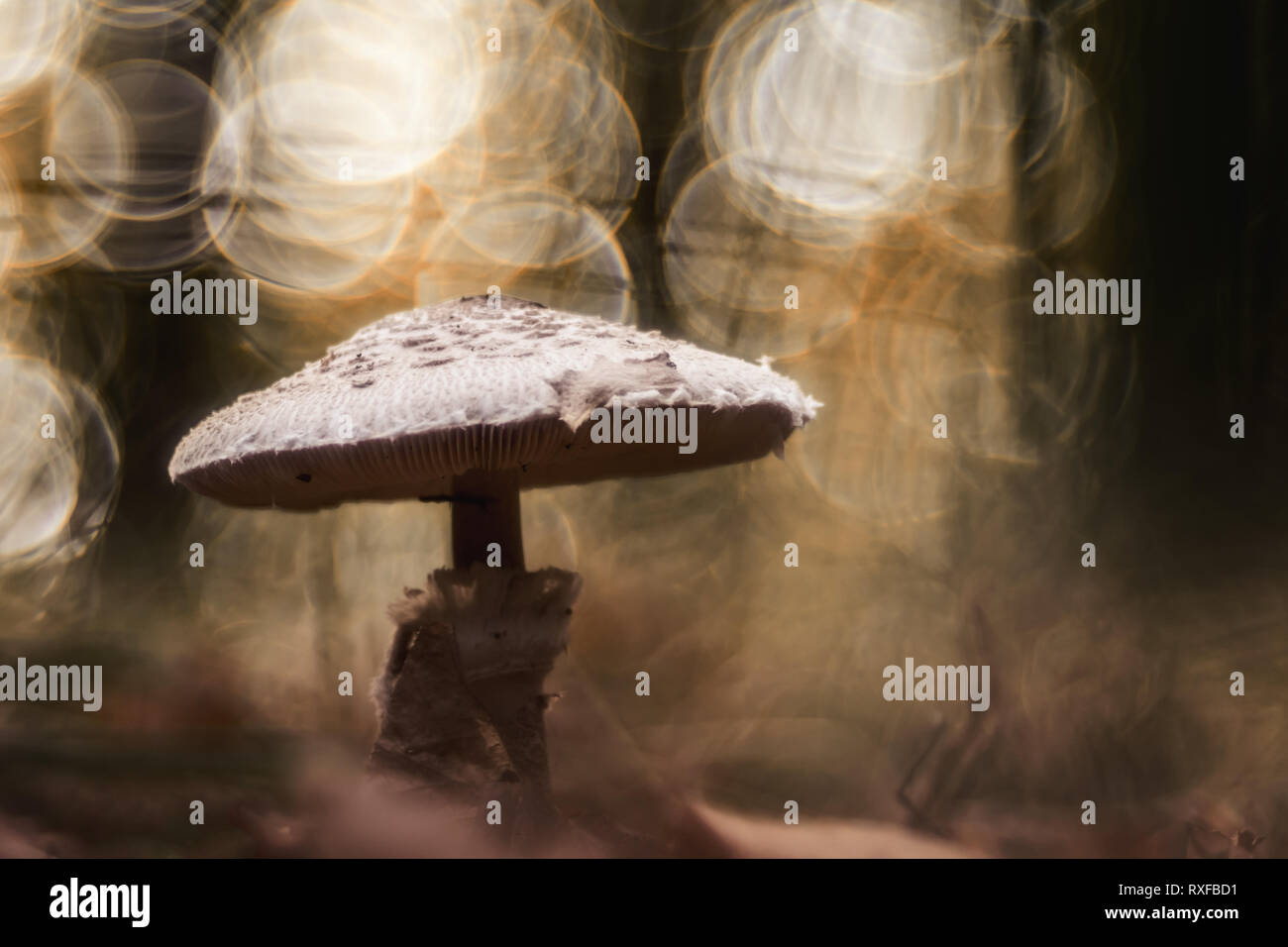 Parasol Pilz im Wald mit Lichteinfall - Stock Image