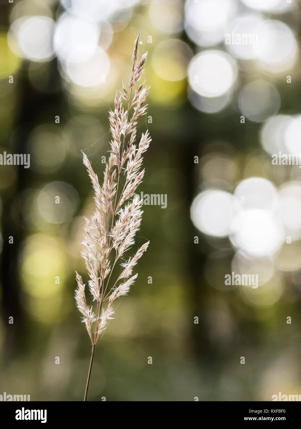 Grashalm im Sonnenlicht mit schönem Blasen Bokeh als Hintergrund - Stock Image