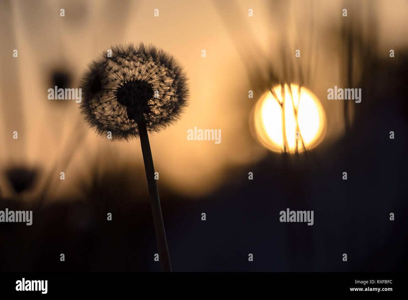 Pusteblume im Gegenlicht bei Sonnenuntergang - Stock Image