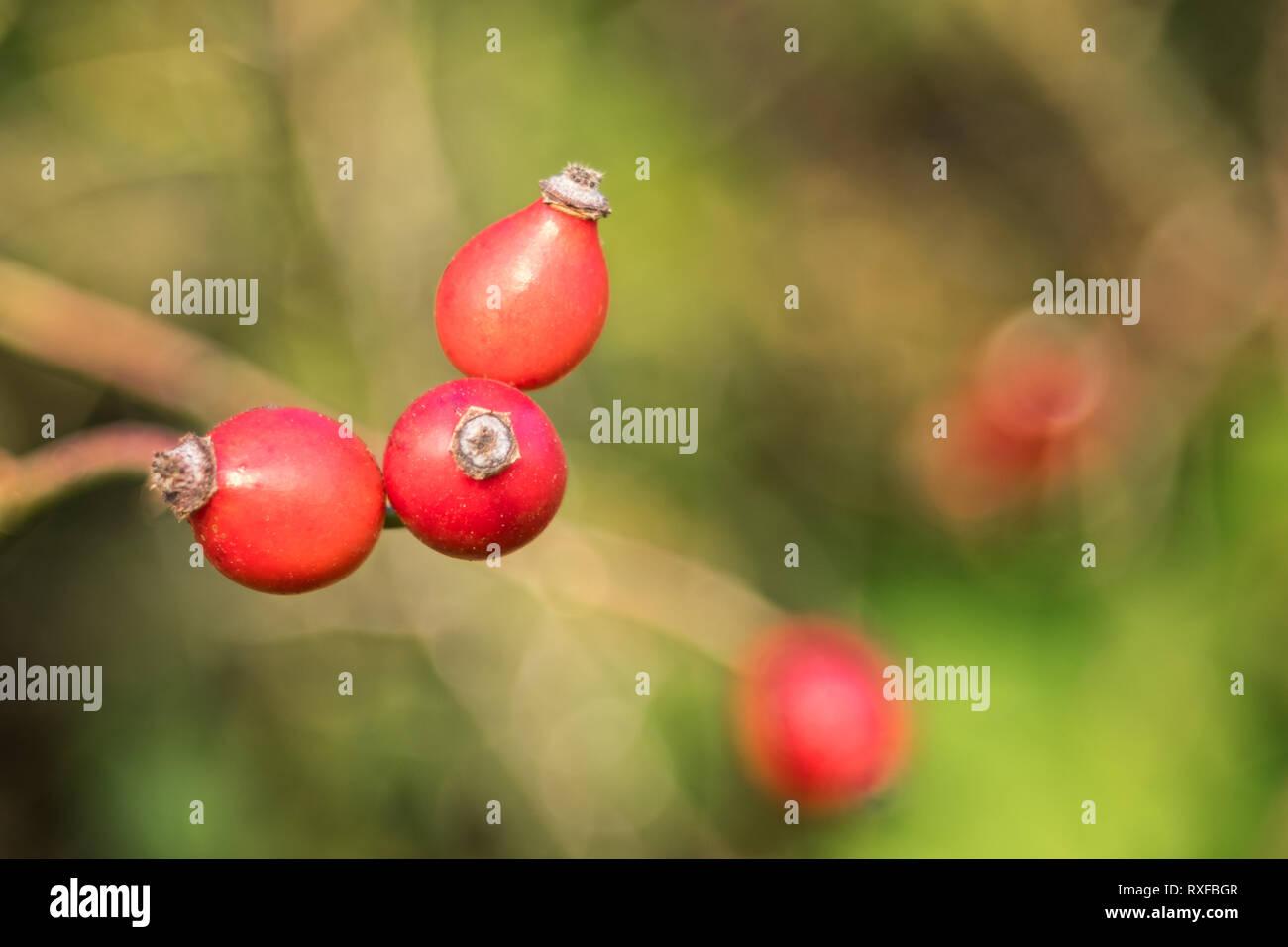 Hagebutten am Zweig mit weichem Hintergrund - Stock Image