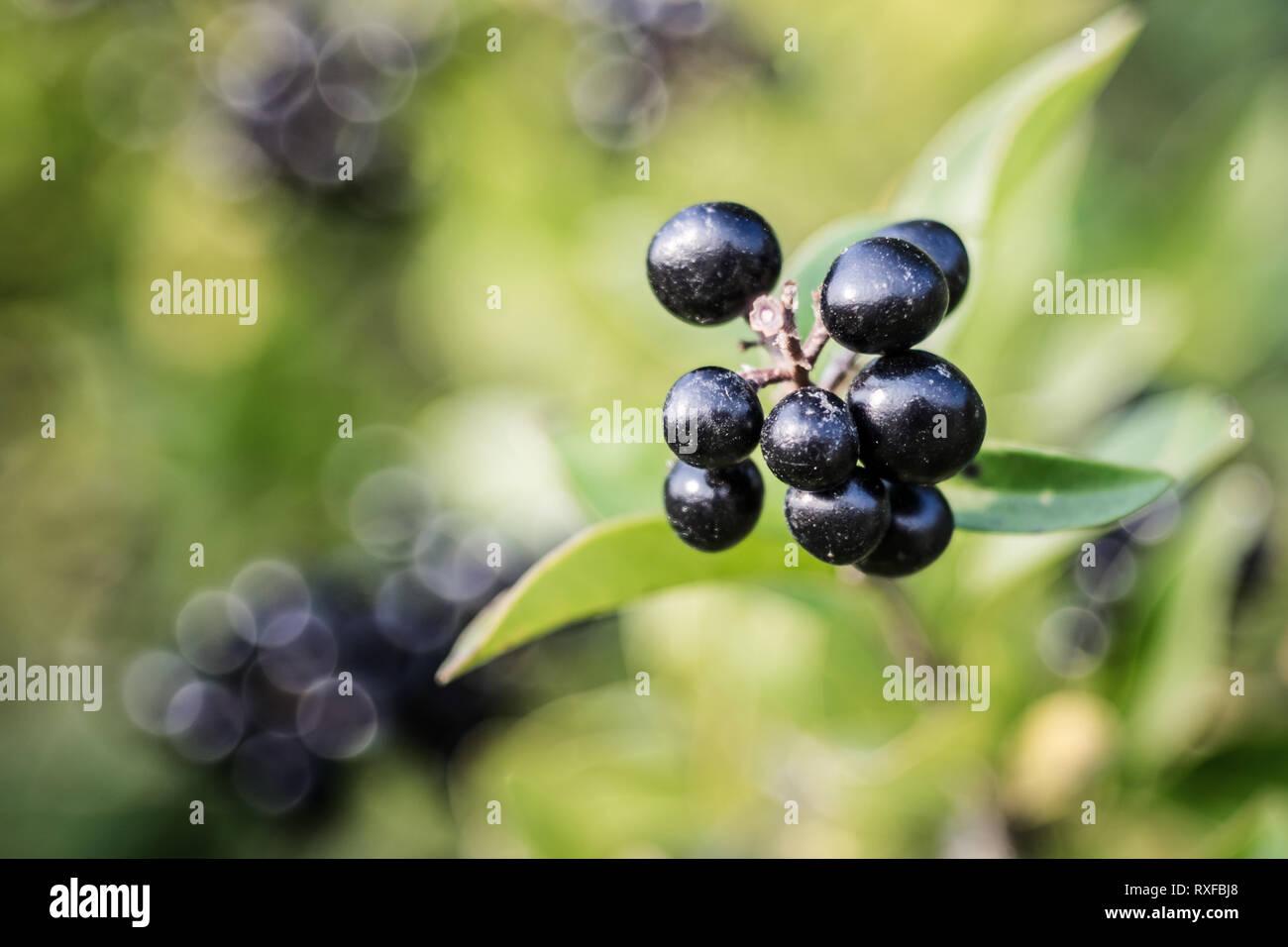 Im tiefen dunkelblau glänzende Beeren auf einem Strauch der wilden Liguster (Ligustrum), oder selten Rainweiden genannt, im Herbst. - Stock Image