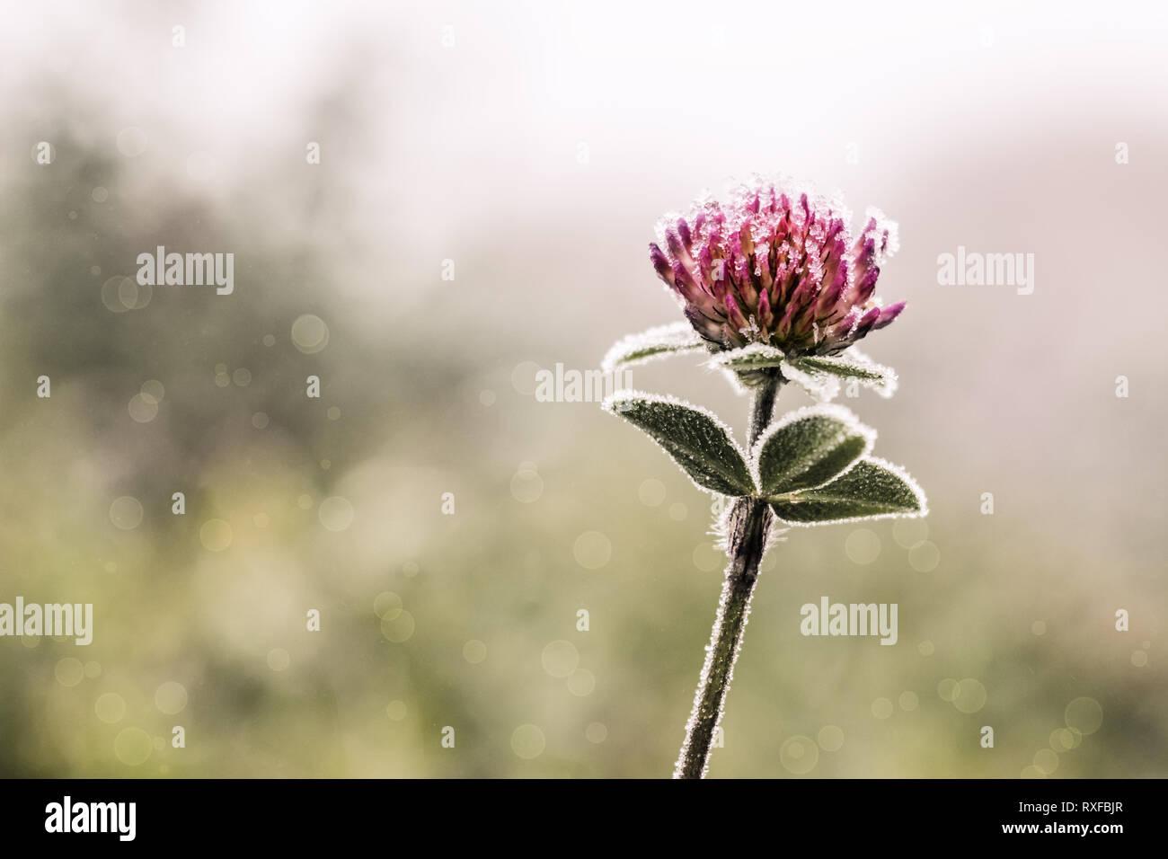 Einsame Kleeblume im Frost mit weichem Bubble Hintergrund - Stock Image