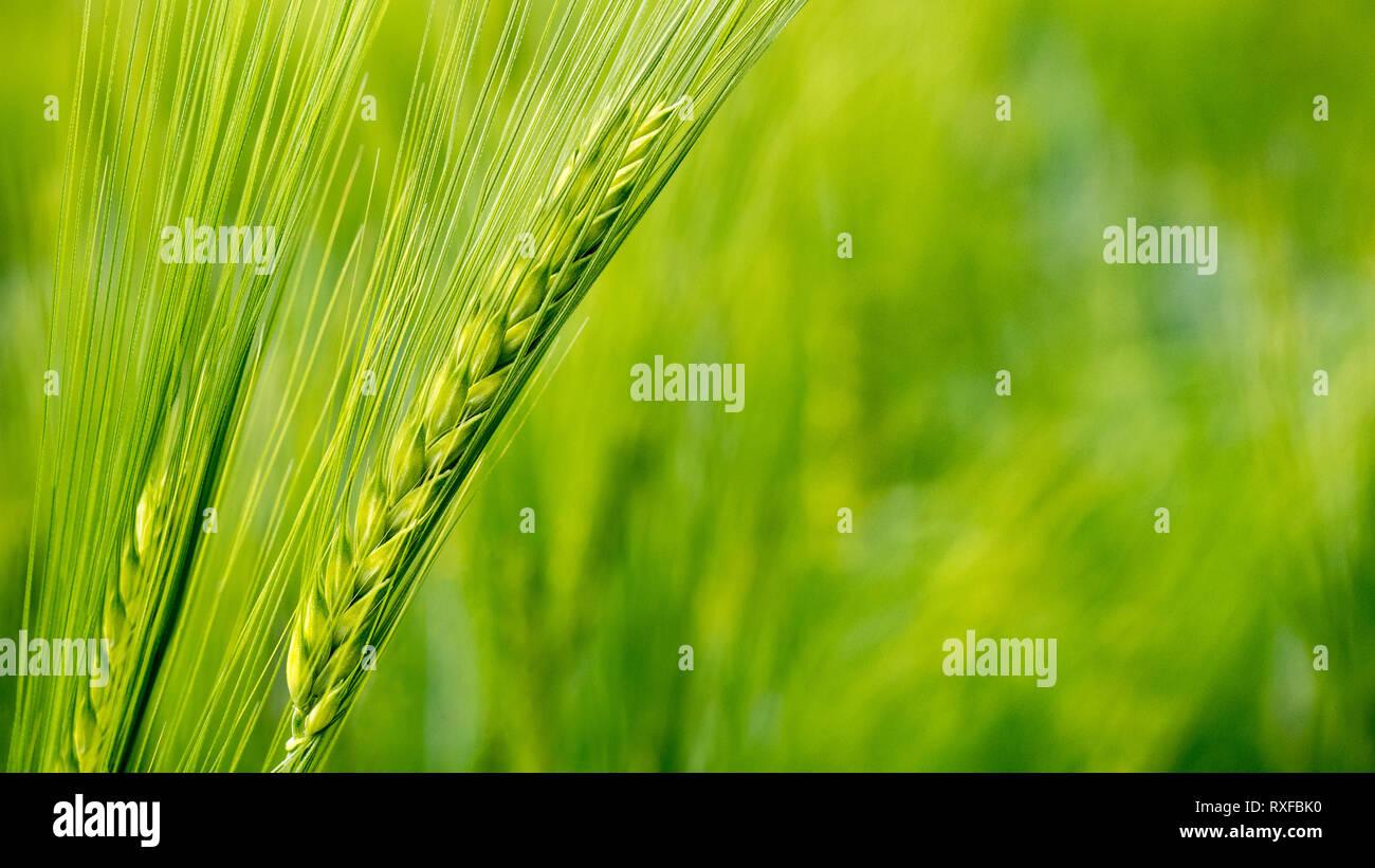 Weizenähre im Weizenfeld - Stock Image