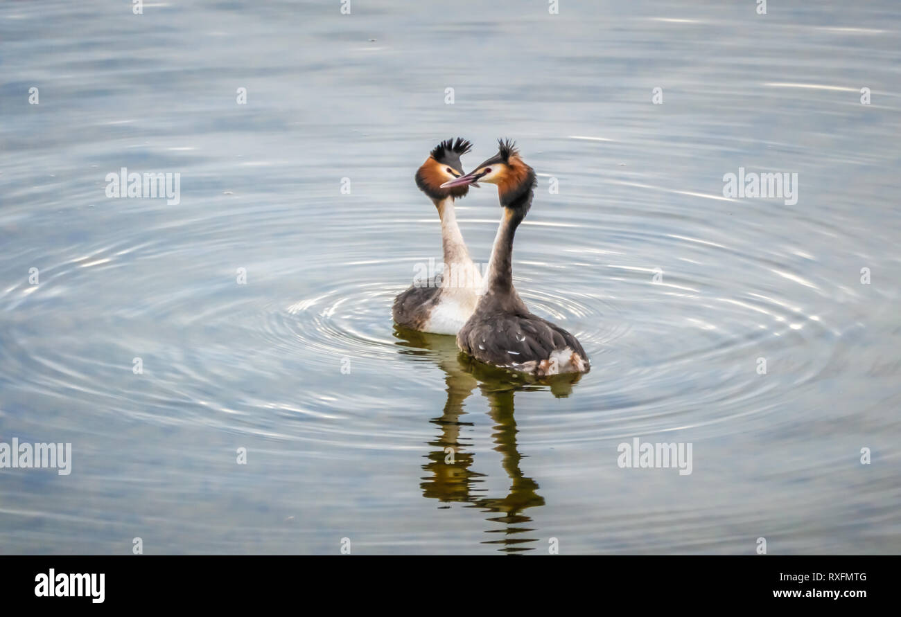 The beauty of the breeding ritual of great crested grebes on the shores of the Upper Zurich Lake, Saint Gallen, Schwyz, Switzerland - Stock Image