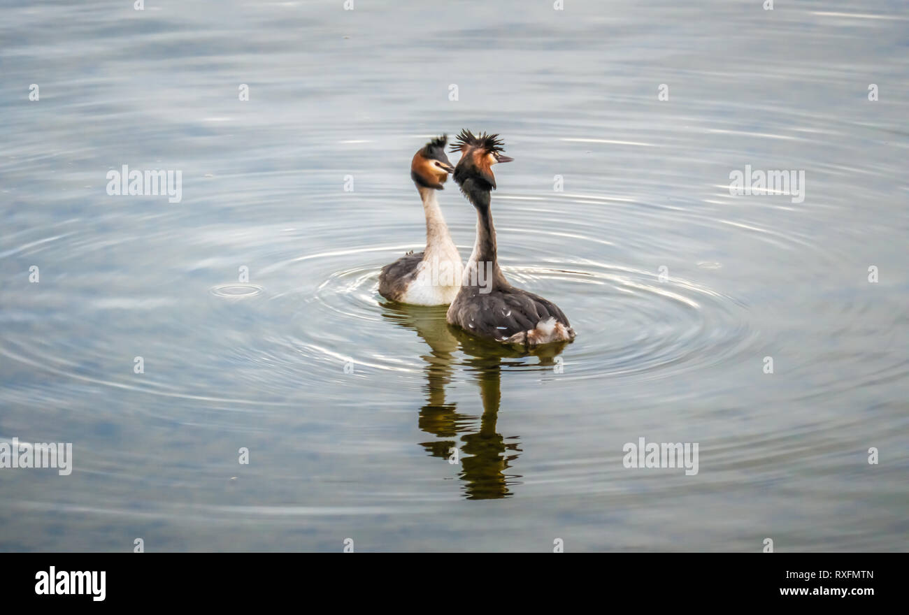 The beauty of the breeding ritual of great crested grebes on the shores of the Upper Zurich Lake, Saint Gallen, Schwyz, Switzerland Stock Photo