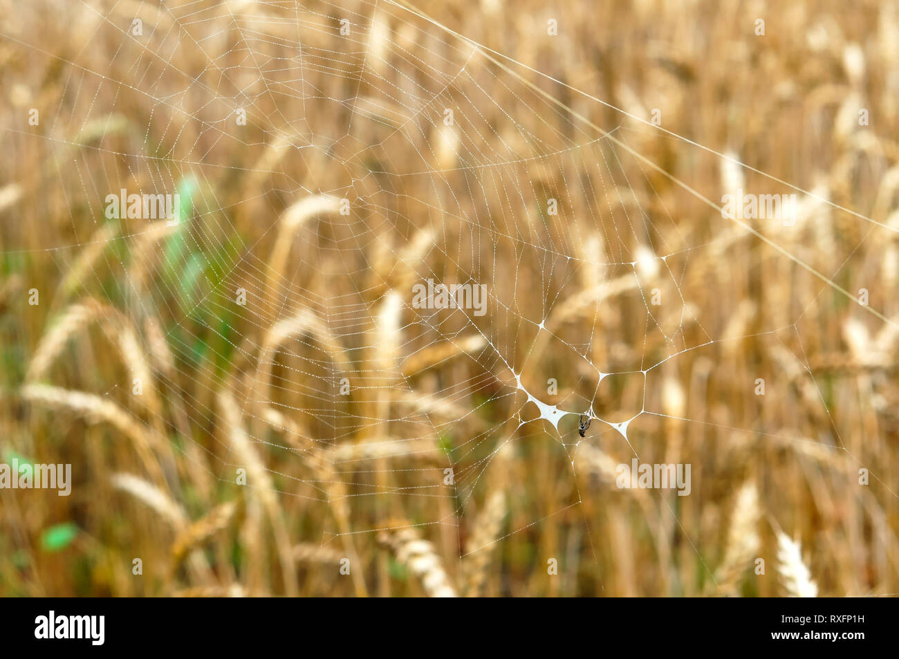spider web with a small spider, spider web on the background of ears - Stock Image