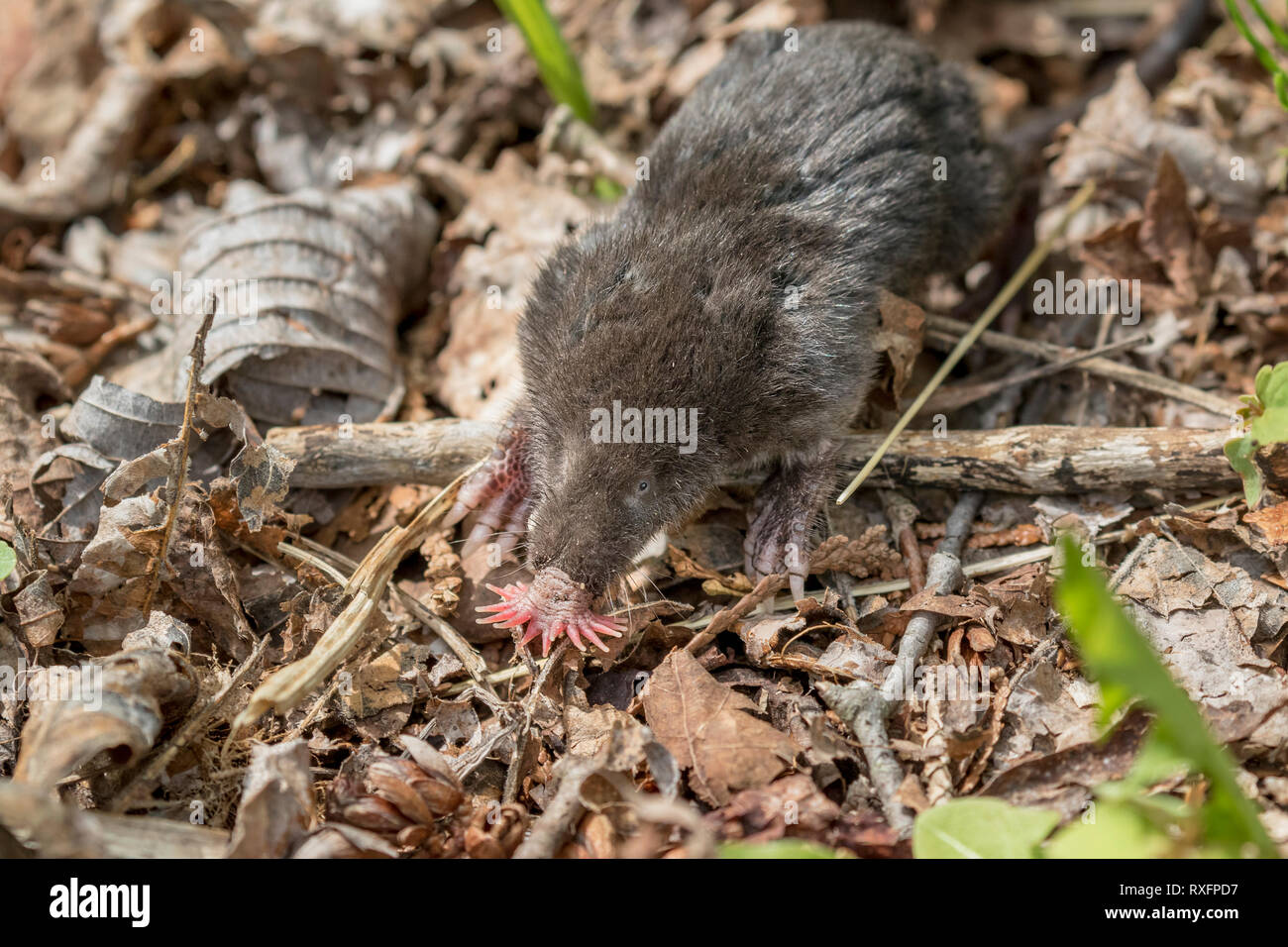 Star-nosed Mole (Condylura cristata), Mac Johnson Wildlife Area, Brockville, Ontario, Canada - the mole has twenty-two pink fleshy appendages ringing  - Stock Image
