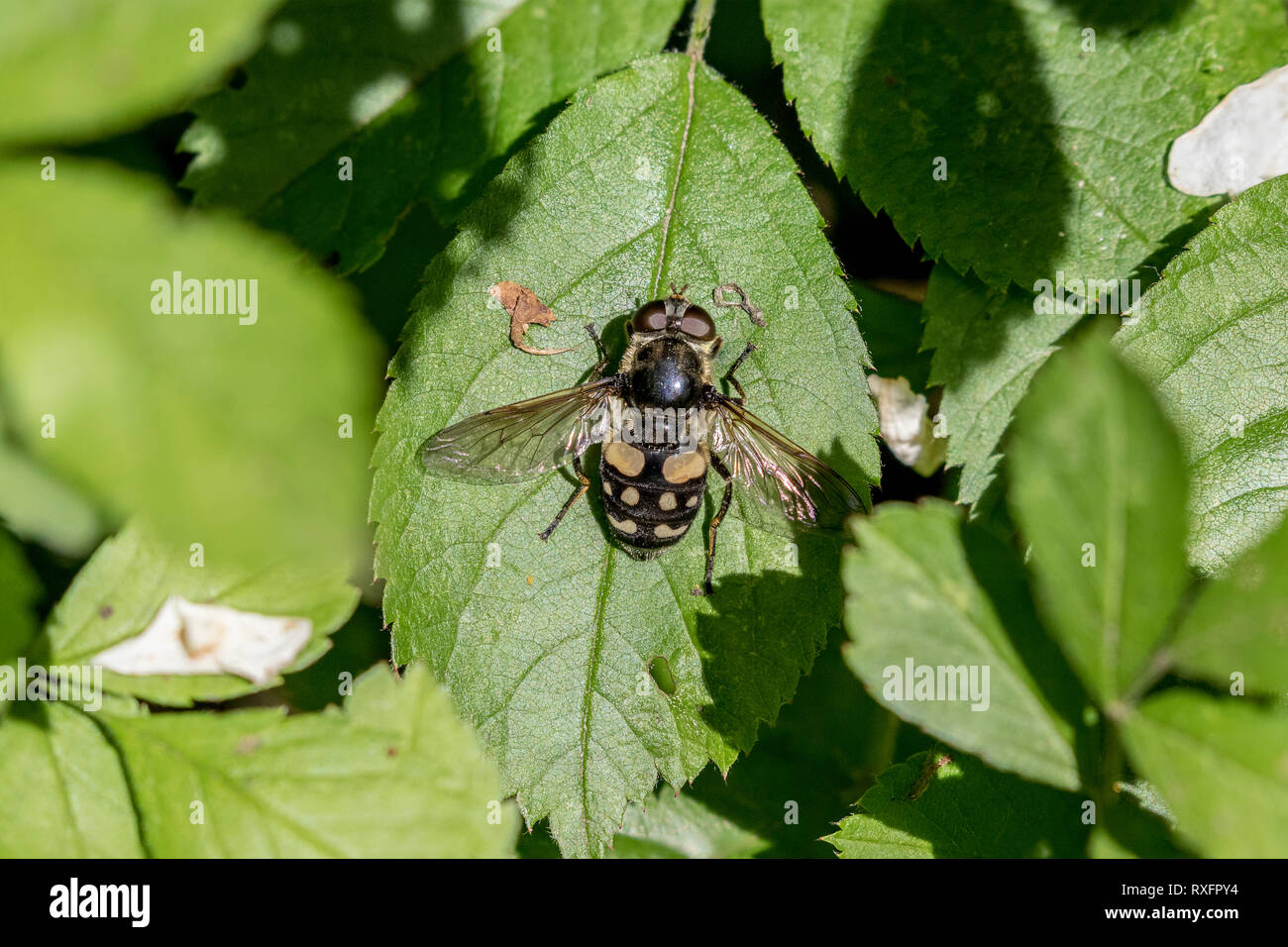 Hover Fly or Syrphid Fly - a bee mimic in Cudia Park, Toronto, Ontario, Canada Stock Photo