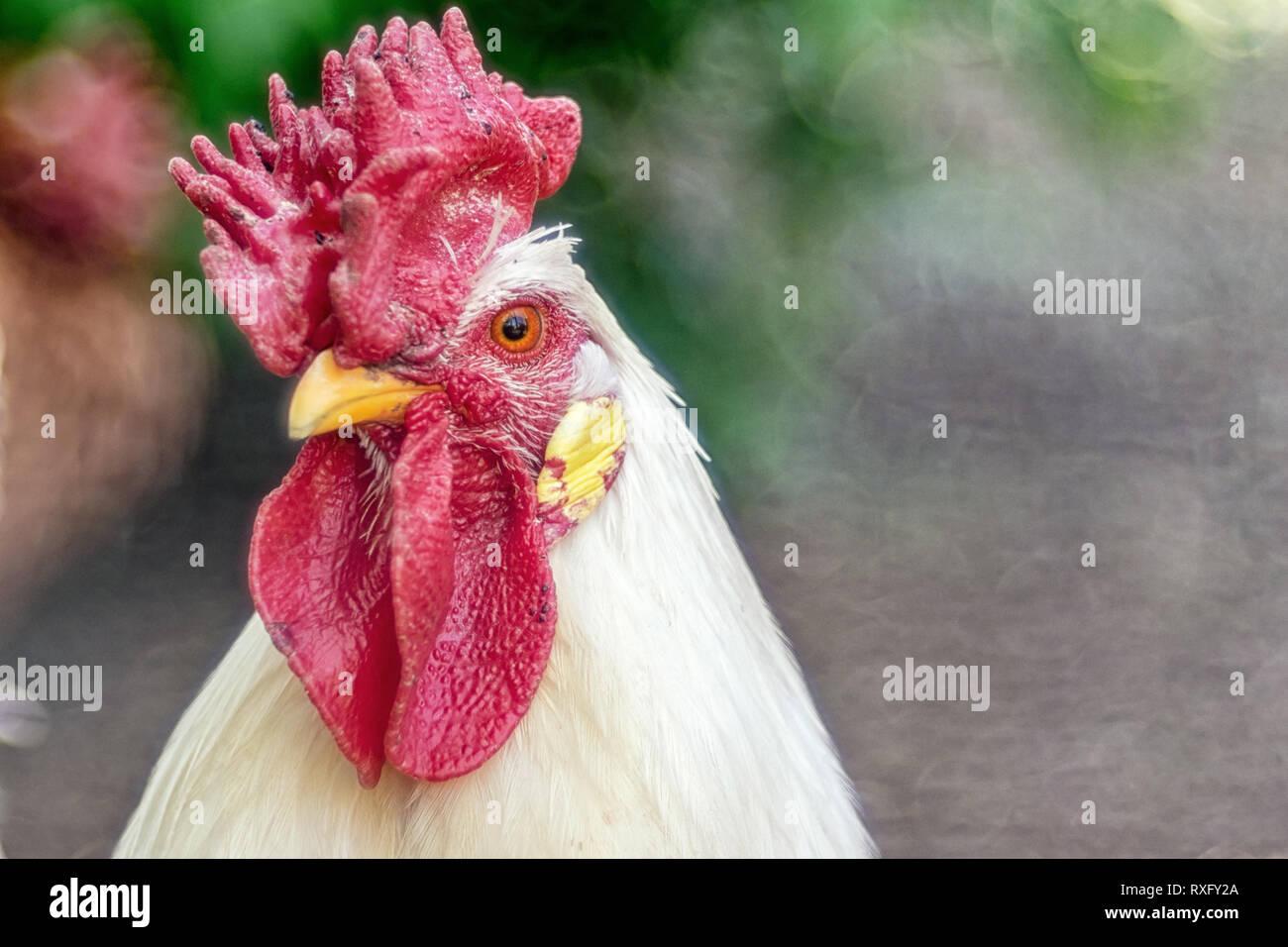 Hühner Portrait Nahaufnahme mit strukturiertem Hintergrund - Altglas Foto - Stock Image