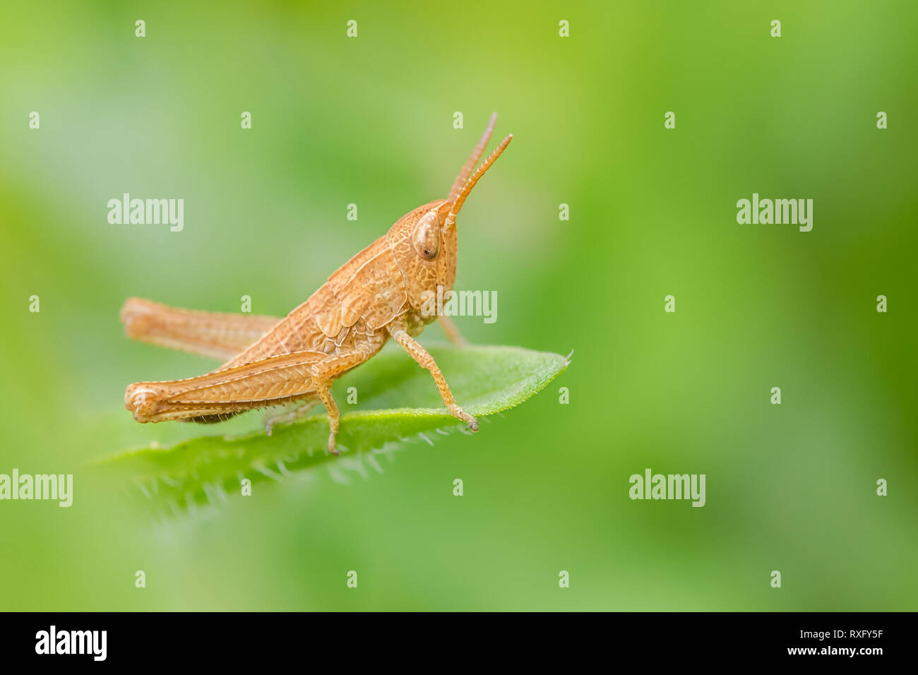 Grashüpfer auf einem Blatt - Stock Image