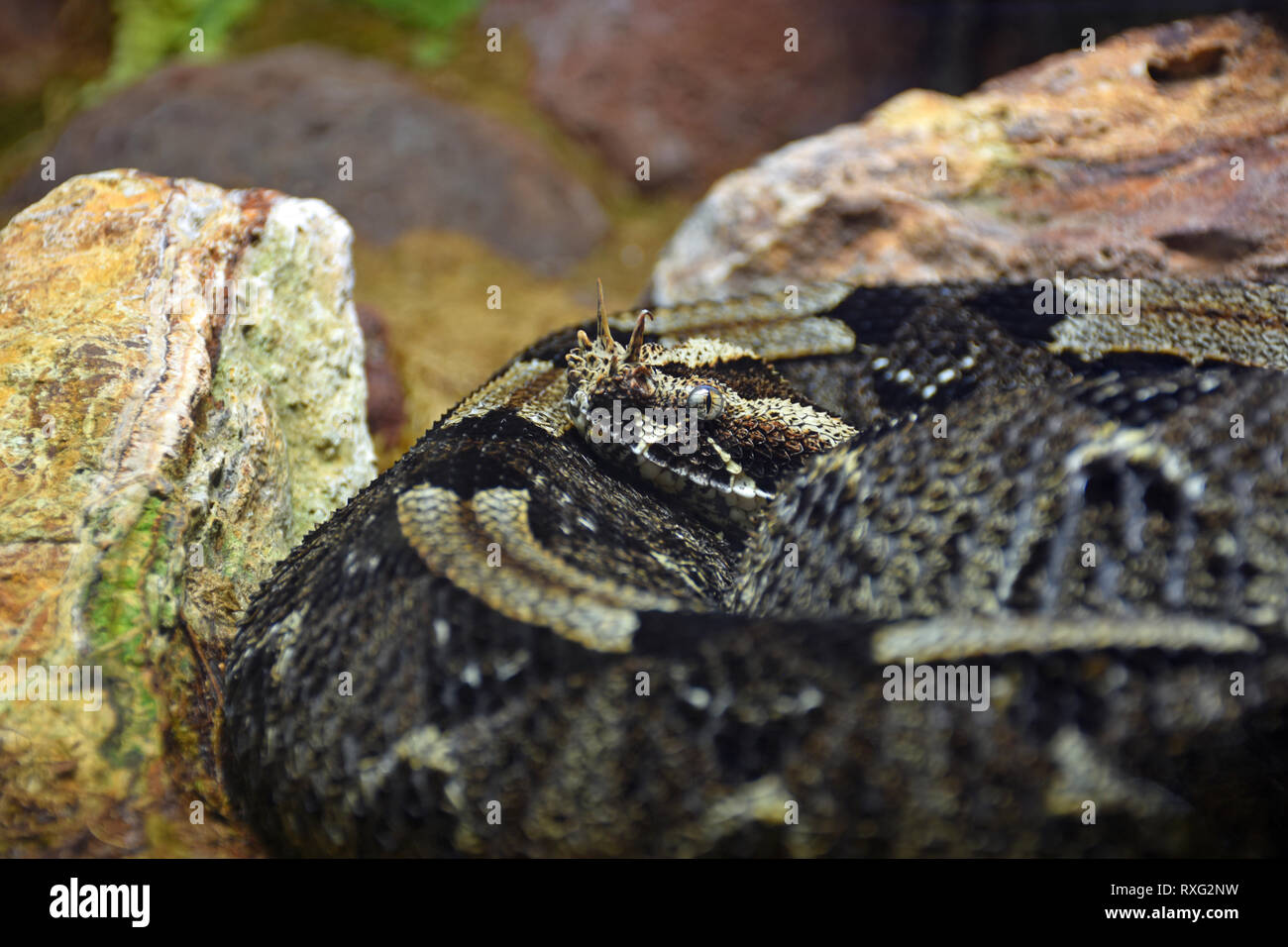 Rhinoceros Snake High Resolution Stock Photography And Images Alamy