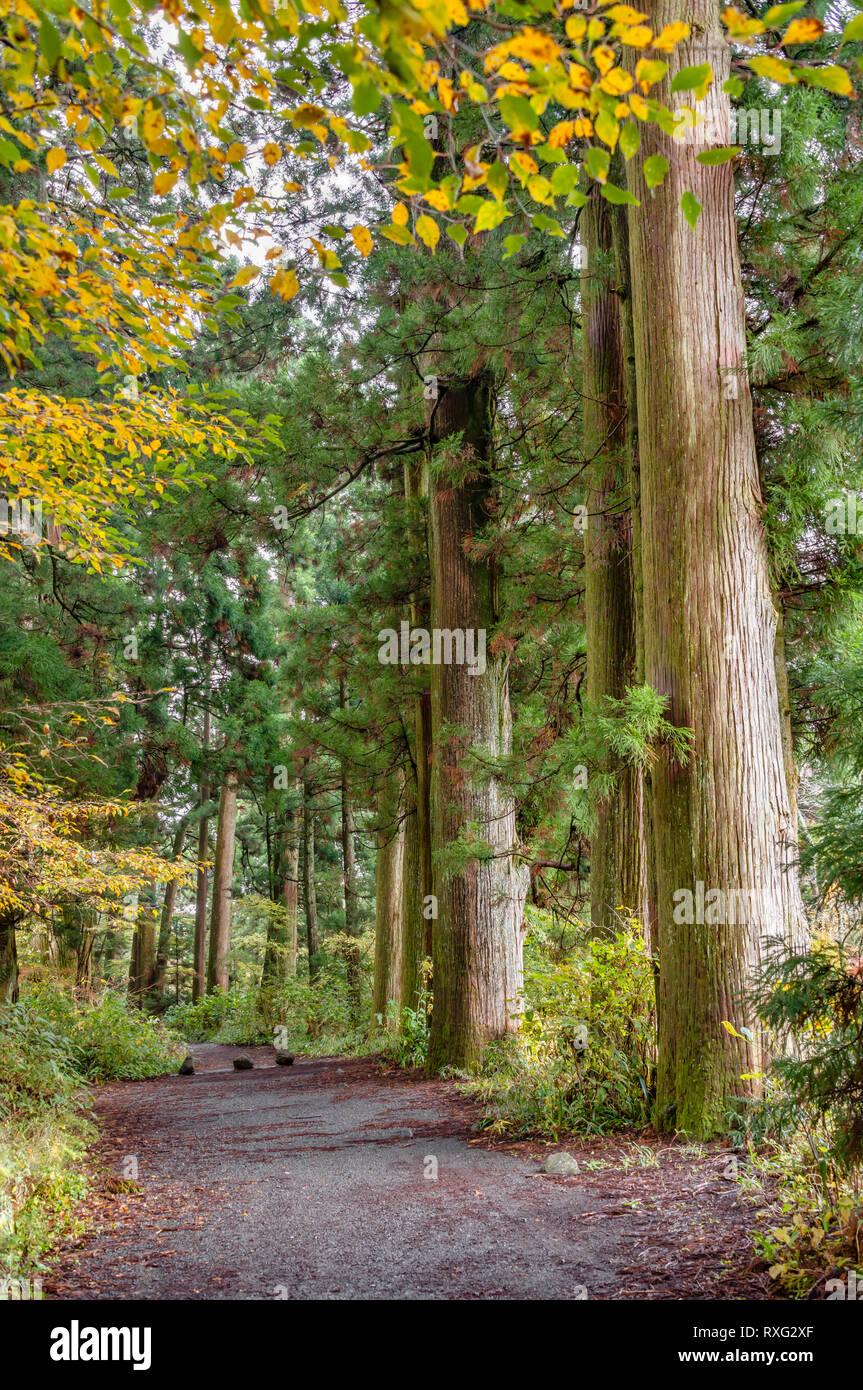 Mittelalterliche Zeder Baeume der alten Hakone Strasse, Hakone, Kanagawa, Japan   Ancient Cedar trees of Hakone old street, Hakone, Kanagawa, Japan - Stock Image
