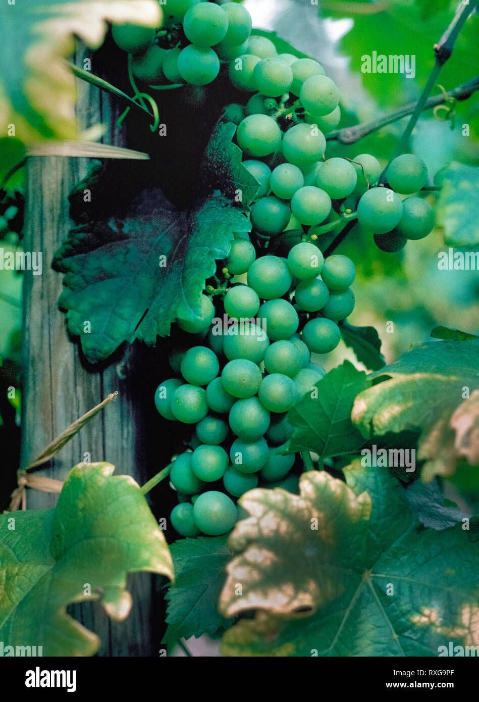 A cluster of ripe green grapes are ready to be picked in the vineyard of a winery in the wine-making region of Napa Valley, California, USA. The skin of green grapes is removed before they are fermented to make white wines, such as Chardonnay, Sauvignon Blanc and Riesling. - Stock Image