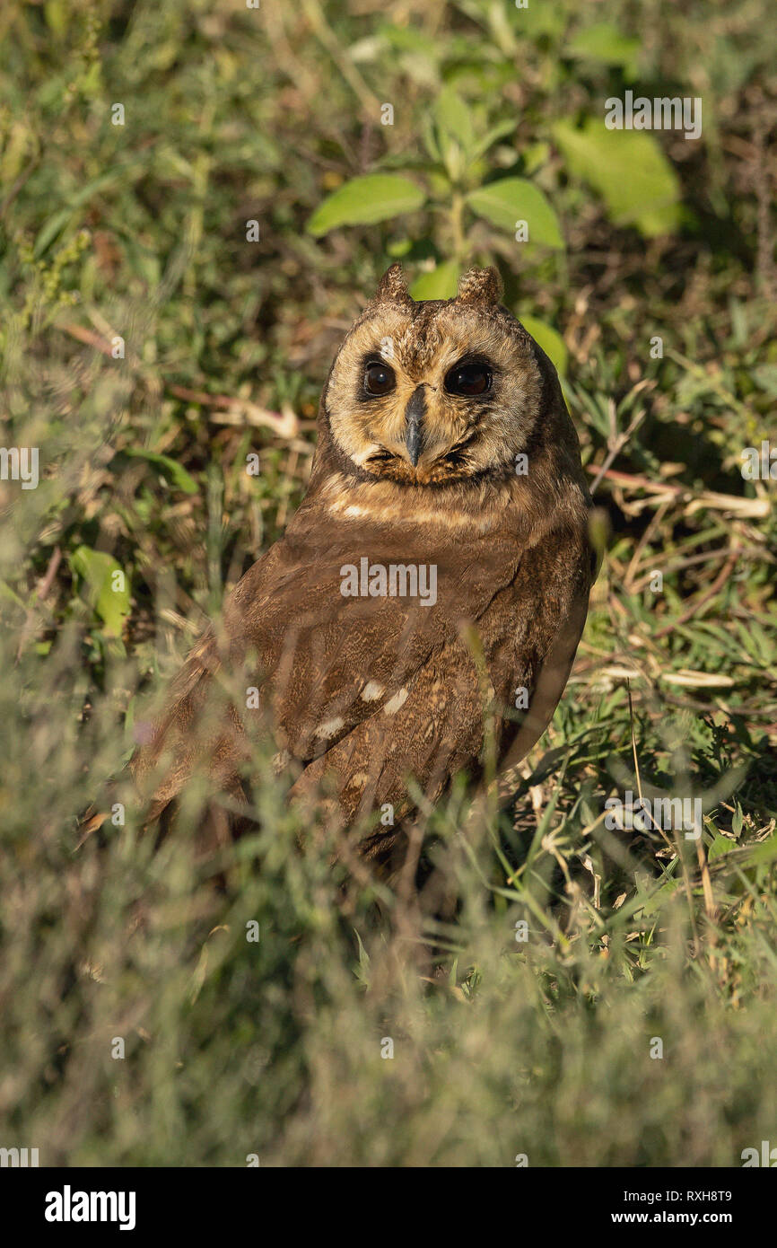 Marsh owl (Asio capensis) in the Ndutu area in southern Serengeti in Tanzania - Stock Image