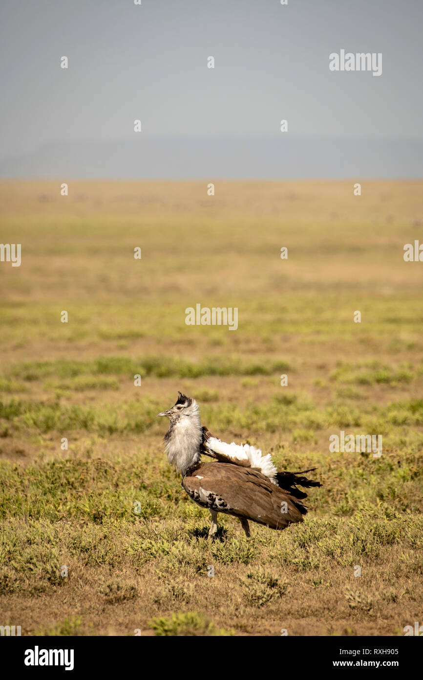 Kori bustard (Ardeotis kori) in typical open grassland in the Serengeti in Tanzania - Stock Image