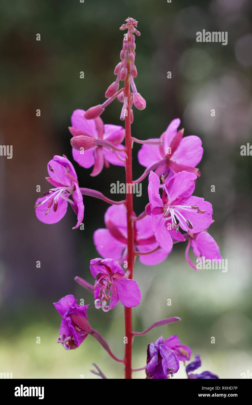 A fireweed stands tall in Wyoming - Stock Image