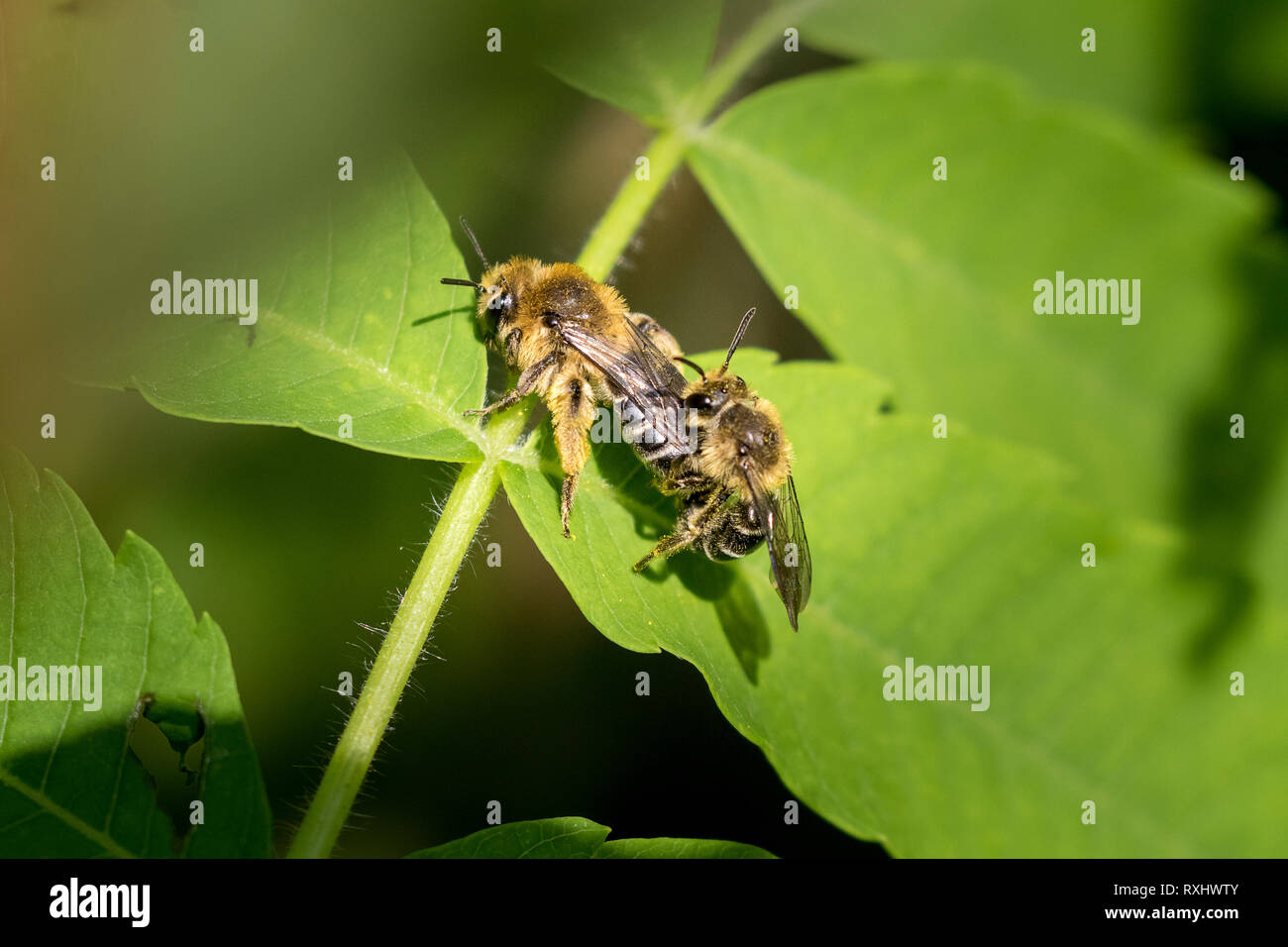 Unequal Cellophane Bees (Colletes inaequalis) mating, Toronto, Ontario, Canada Stock Photo