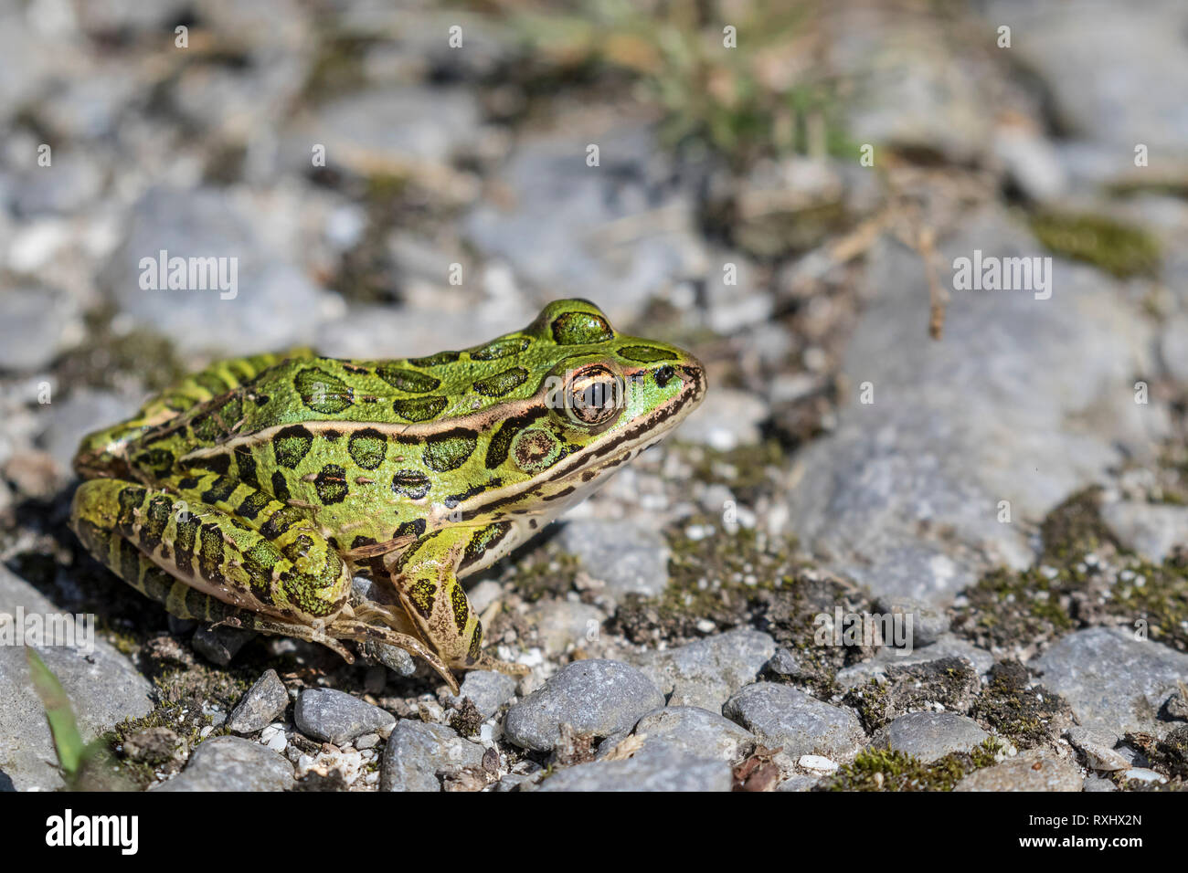 Northern Leopard Frog (Lithobates pipiens), Prince Edward Point National Wildlife Area, Ontario, Canada - Stock Image